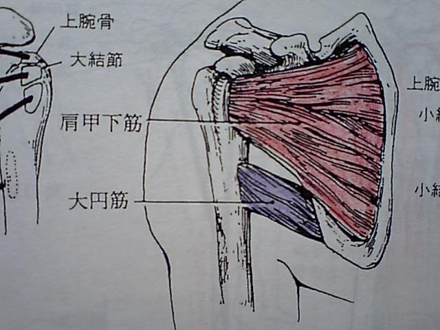 棘上筋、棘下筋、小円筋、肩甲下筋