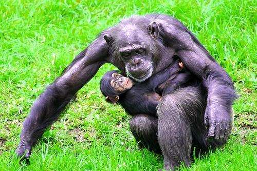 チンパンジーは人間と同じ生まれかた~安産にお灸~