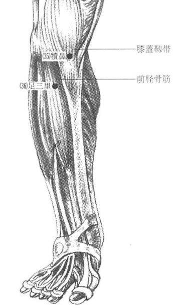 足三里解剖